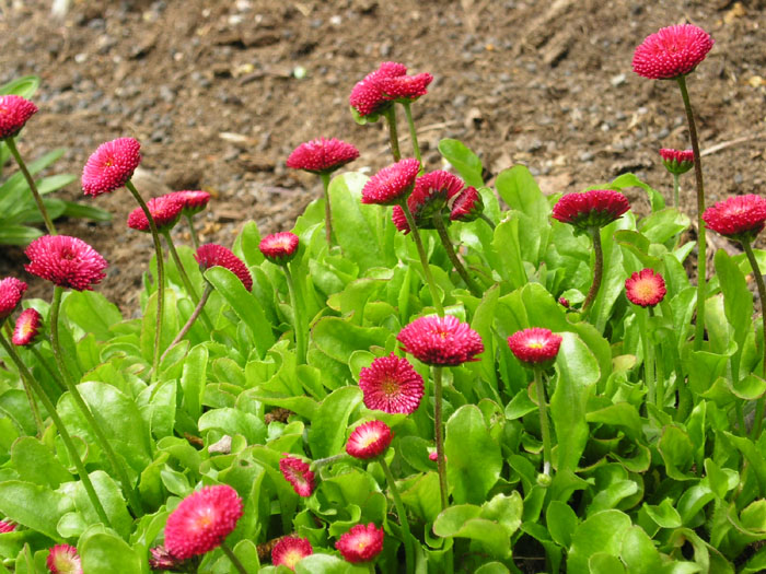 Geliebte Pflanzen und Garten - Essbare Blüten, Essbare Blumen, Essbare Pflanzen #OV_39